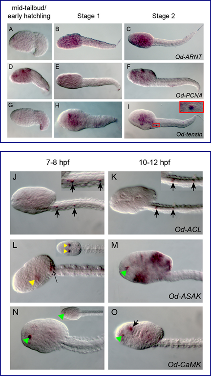 Gènes non notochordaux chez Oikopleura