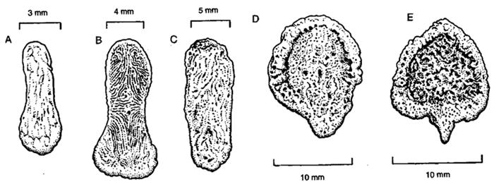 Bacula de (A) Arctocephalus, (B) Callorhinus ursinusl, (C) Zalophus californianus, (D) Neophoca cinerea, (E) Phocarctos hookeri