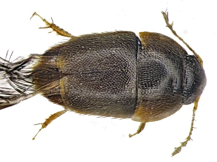 Phytotelmatrichis osopaddington, Michael Darby (2)