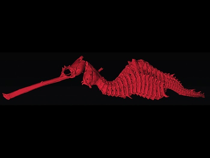 Squelette de Phyllopteryx dewysea en tomographie, Josefin Stiller, Nerida Wilson and Greg Rouse