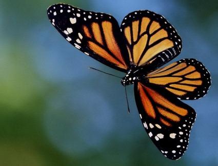 Papillon Monarque en vol