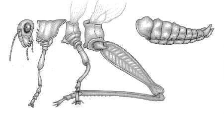 Décomposition des pattes d'un orthoptère