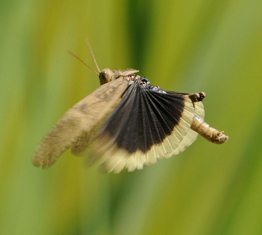Criquet en vol