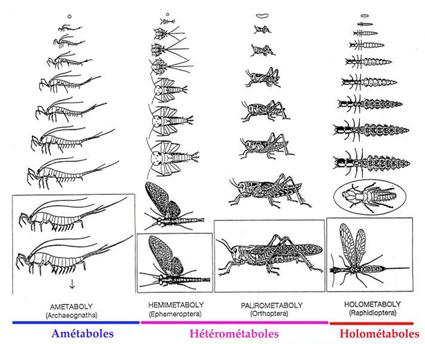 Différents modes de développement chez les insectes