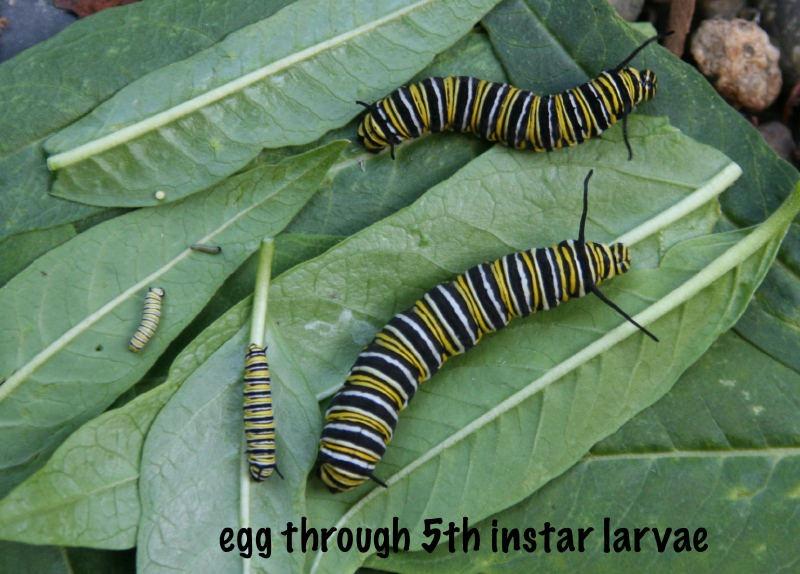Monarque, de l'oeuf au 5ème stade larvaire