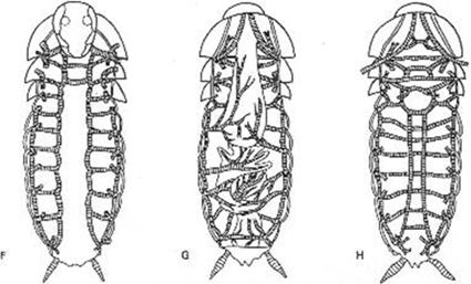 Système respiratoire trachéen d'une blatte