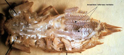 dissection de l'ampoule rectale d'une larve anisoptère