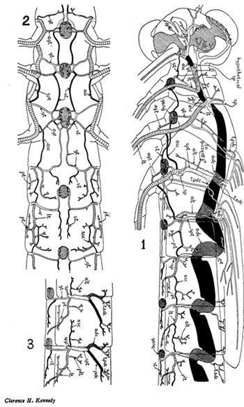 Système respiratoire trachéen d'une leste