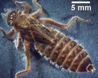 larve d'anisoptère