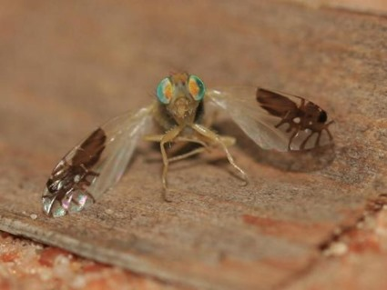 Fly with ant-mimic wings