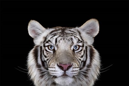 Tigre, Brad Wilson