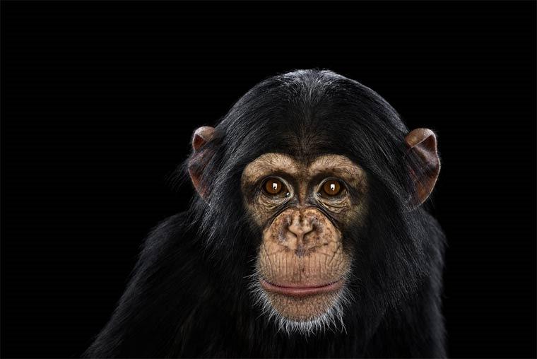 Chimpanzé, Brad Wilson