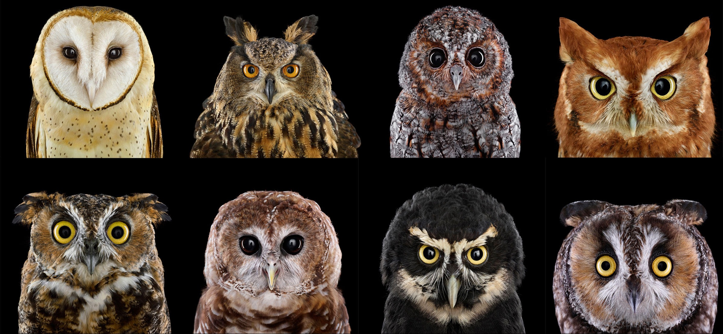 Portraits de Strigiformes, Brad Wilson