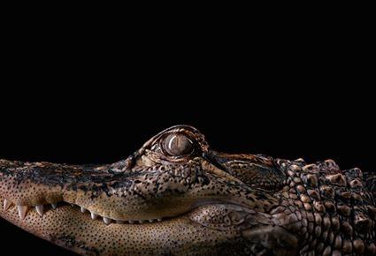 Alligator, Brad Wilson