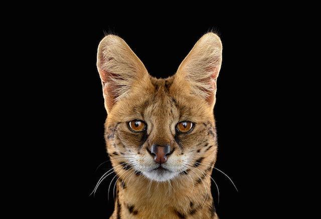 Serval, Brad Wilson