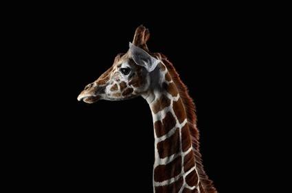 Girafe, Brad Wilson