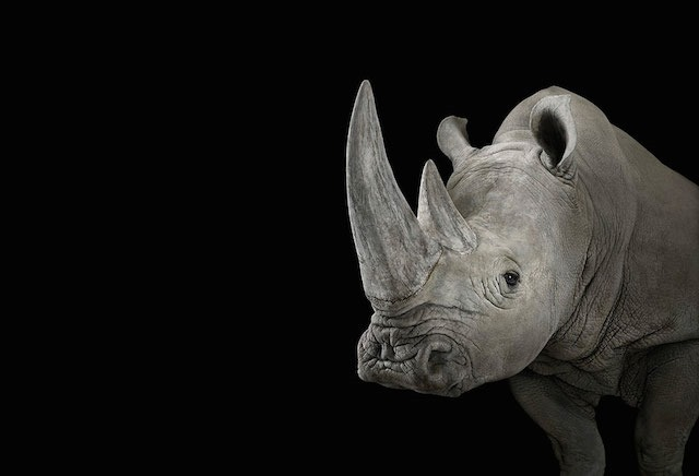 Rhinoceros, Brad Wilson