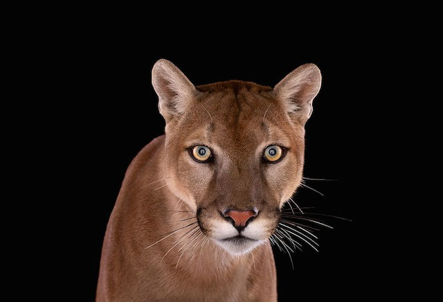 Cougar, Brad Wilson