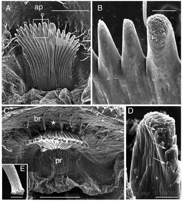 Peigne anal de la chenille Calpodes ethlius
