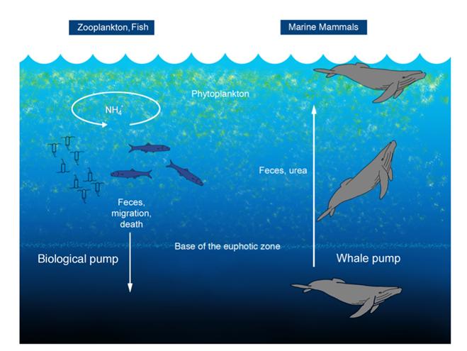 Ensemencement crottes baleine