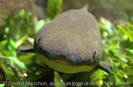 Dipneuste, © Déodat Manchon, aquarium tropical de la Porte Dorée