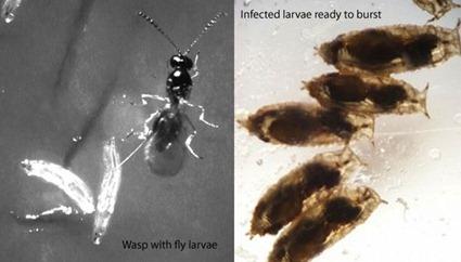 Larves de Drosophila melanogaster parasitées par Leptopilina boulardi