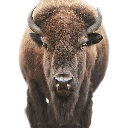 Bison, 2010, Morten Koldby