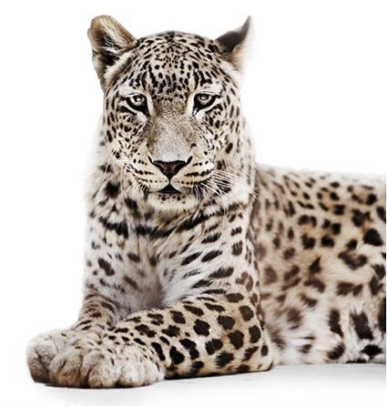 Leopard, 2009, Morten Koldby
