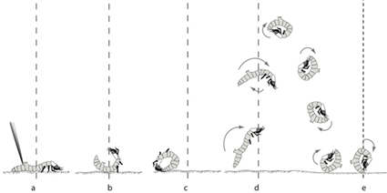 Locomotion en roue chez la larve de C. dorsalis media