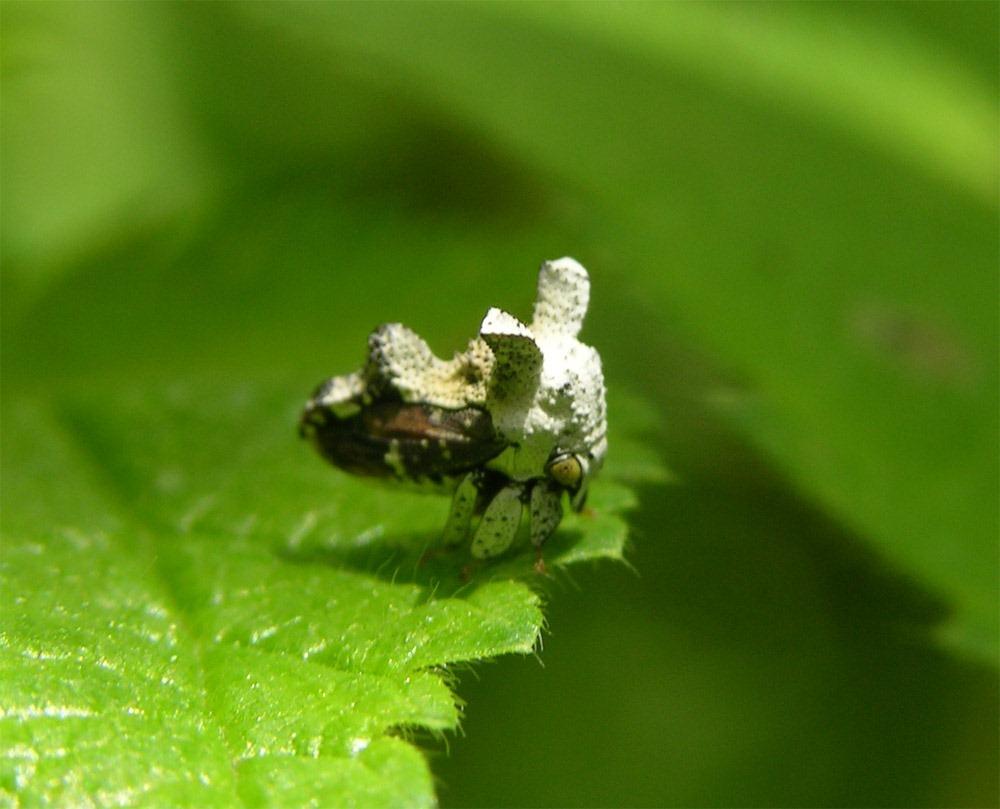 Notocera bituberculata (le Membracidae en forme de crotte d'oiseau)