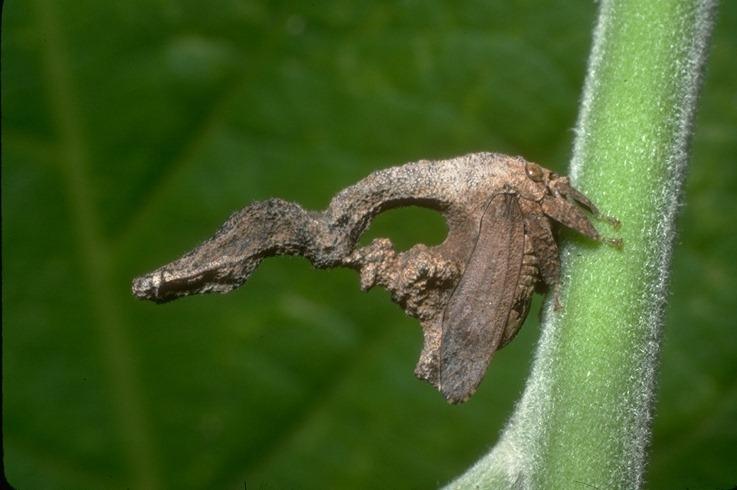 Sphongophorus latifrons