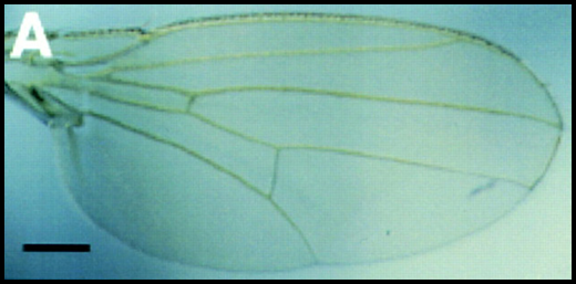 aile de drosophile