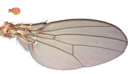 aile et haltère de drosophile