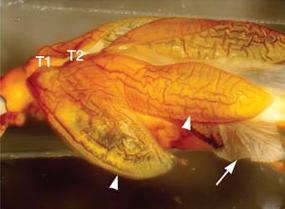 Tribolium castaneum mutant Scr (Cx) avec 3 paires d'ailes