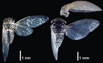 Comparaison d'une cigale (Tibicen sp.) et d'un membracide (Publilia modesta), Prud'homme et al., 2011
