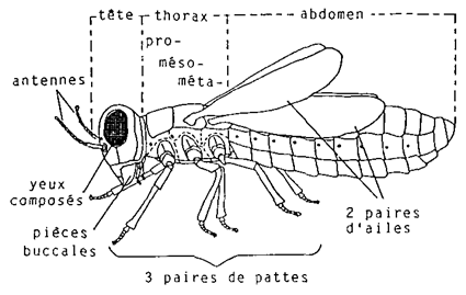 Le thorax se compose de 3 segments (prothorax, mésothorax, métathorax). 3 paires de pattes et 2 paires d'ailes y sont fixées.