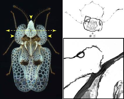 Coupe histologique du pronotum de Coythucha ciliata, Prud'homme et al., 2011