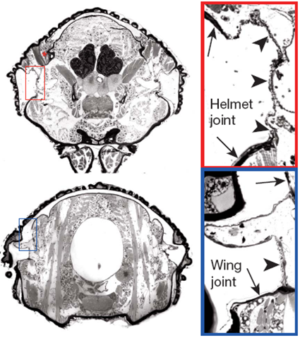 Coupes histologiques de Publilia modesta à travers le segment T1 et T2, Prud'homme et al., 2011