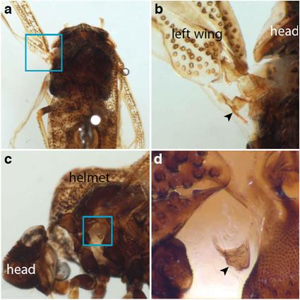 Presence de pteralia à la jonction du casque de Publilia modesta, Prud'homme et al., 2011