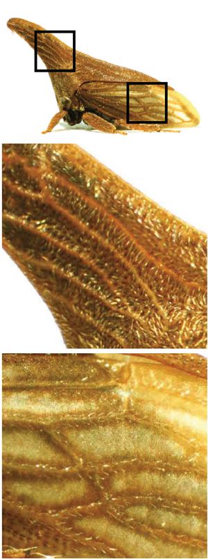 Réseau de veines sur le casque et l'aile de Campylenchia latipes, Prud'homme et al., 2011