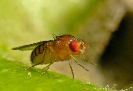 Drosophila melanogaster, la mouche la plus célèbre chez les scientifiques!
