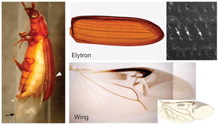 Elytres et ailes du coléoptère Tribolium castaneum, Tomoyasu et al., 2005