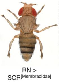Mouche où la protéine Scr de membracide est surexprimée, Prud'homme et al., 2011