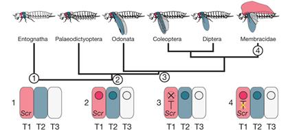Scénario évolutif du déploiement du programme génétique de la formatio des ailes chez les insectes, Prud'homme et al., 2011