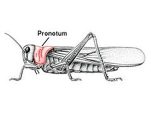 Le pronotum