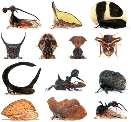 Diversité Morphologique des Membracides via leur chapeau, Prud'homme et al, 2011