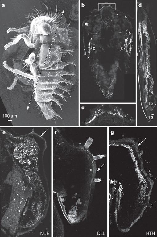 Les gènes d'ailes sont exprimés dans le casque, Prud'homme et al., 2011