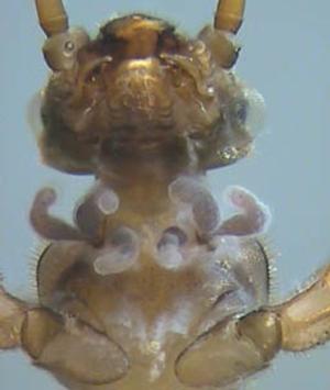 Branchies collaires tubuleuses de Protonemura