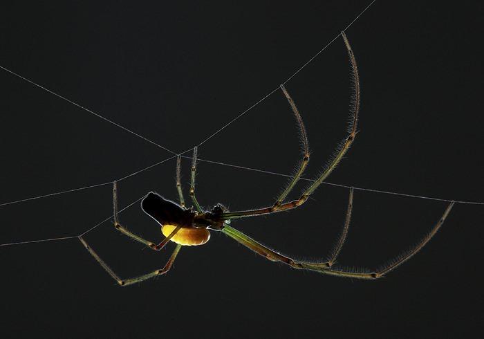 Araignée et sa larve de guêpe parasitaire, Anand Varma