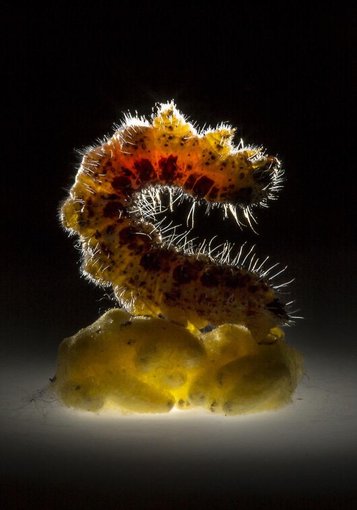 Chenille garde du corps de la guêpe parasitaire Cotesia, Anand Varma